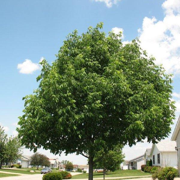 evergreen-ash