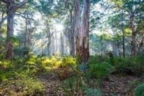 Karri_trees_Boranup_Forest